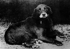 Avon, vermuteter Ahnherr aller heutigen Labradore