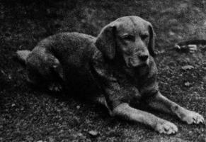 Ben of Hyde, erster anerkannter gelber Labrador